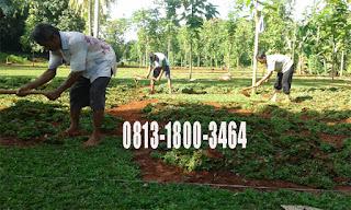 Jual Rumput Gajah Mini di Serpong | Harga Terjangkau | Murah