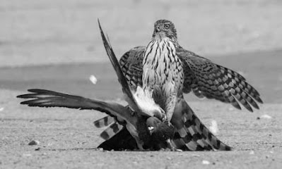 Los halcones nazis