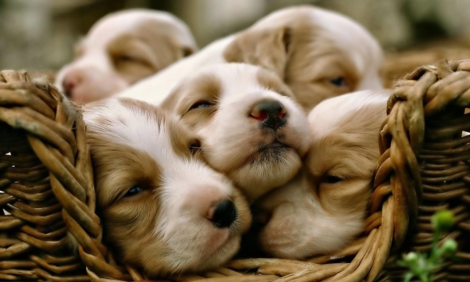 Puppy Photography 1080p Wallpapers