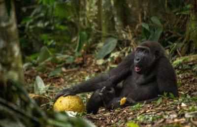 Gorila Yang Bisa Berjalan Tegak Seperti Manusia