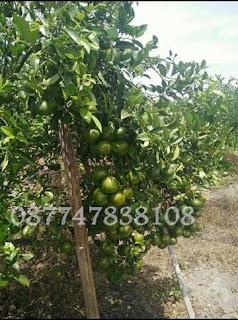 cara agar jeruk berbuah lebat