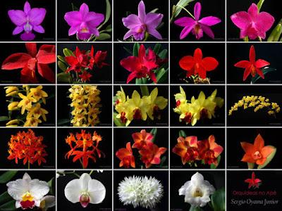 Orquídeas no Apê
