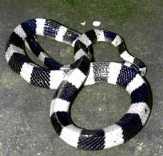 Gambar Foto Ular Senduk Besar Berbisa King Cobra Piton