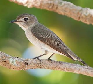 Suara Burung Sikatan Bubik