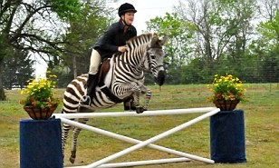 the jumping zebra