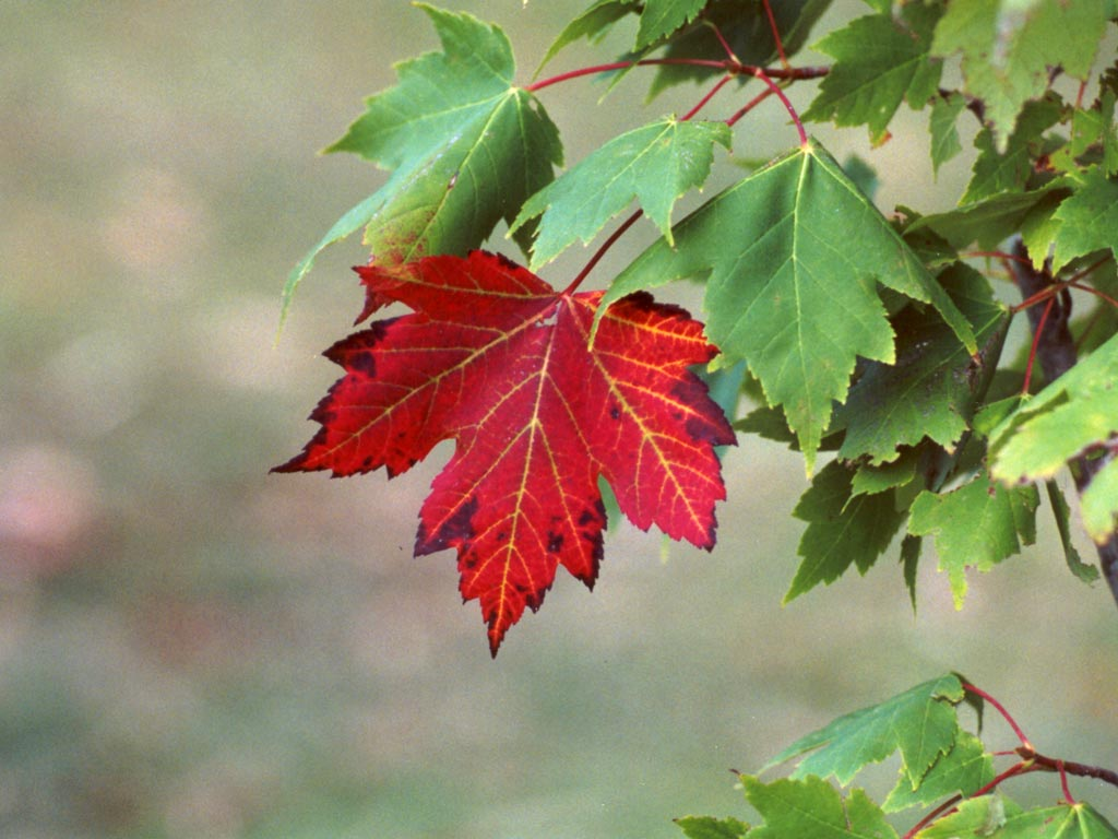 Newfoundland Nature: Red Maple or Reddish Maple?