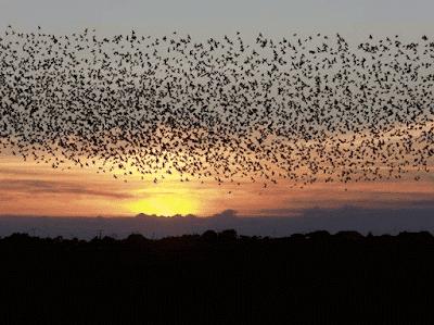 Cara Membuat Parfum Kesenangan Burung Walet TERBUKTI