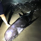 Porpoise Beached On Brevard County Coast