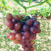 At Home in the Vineyard—A Visit in La Union's Pioneer Grapes Farm