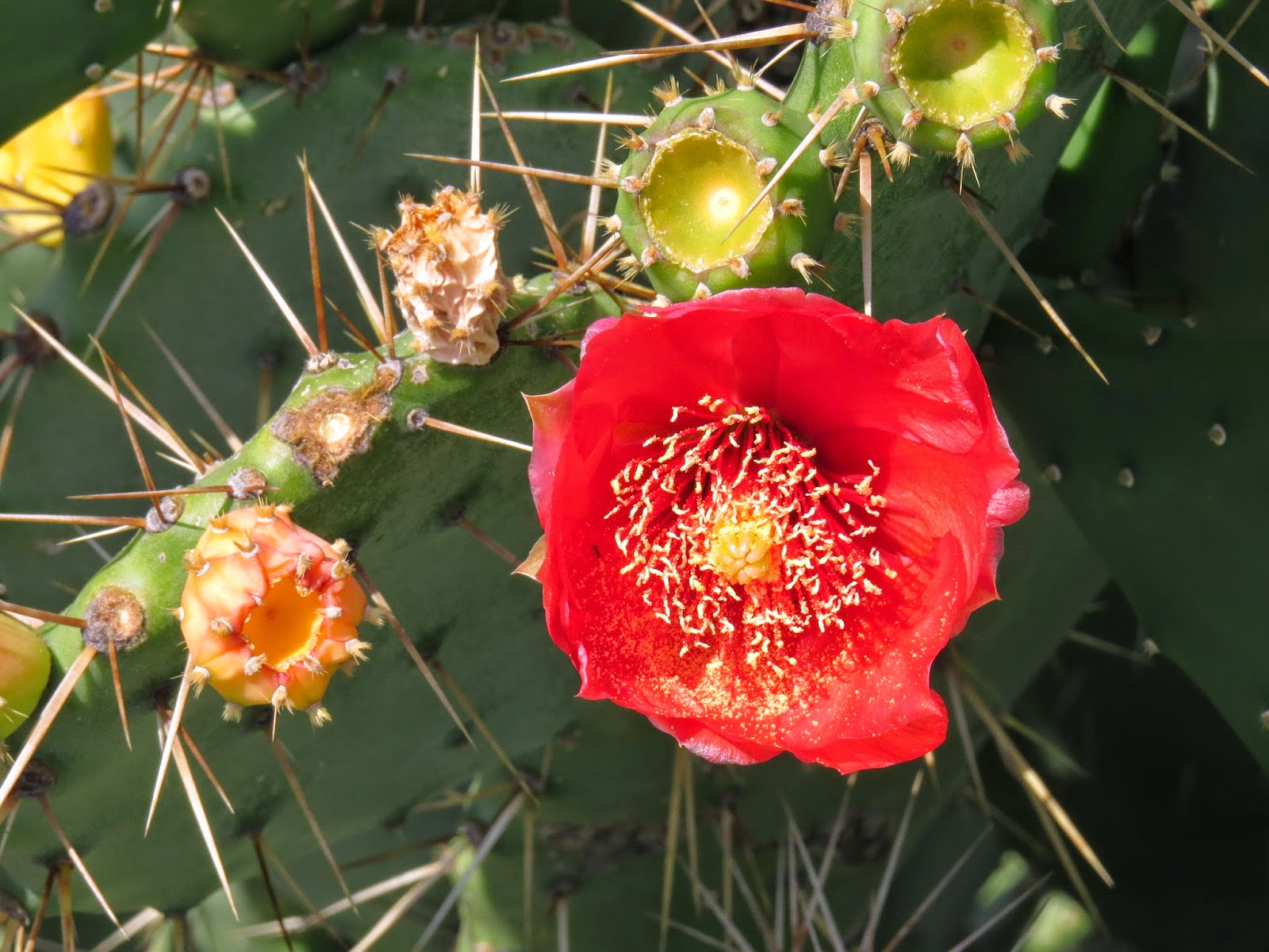 Flower of a prickly pear, Livorno