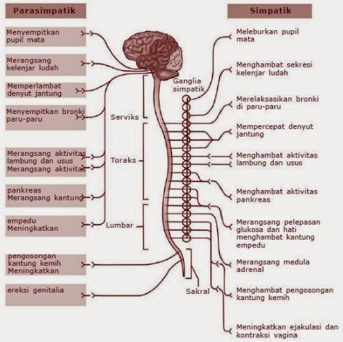 Image result for sistem saraf simpatik dan parasimpatik