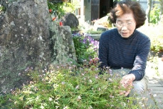 ヒメフウロが民家の庭に咲きました!