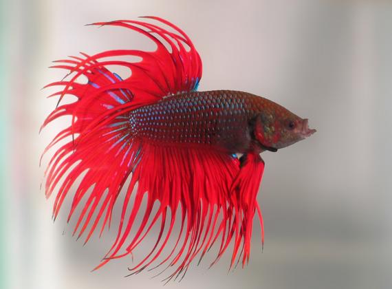 Ikan Cupang Yang Bagus
