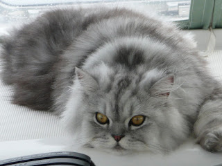 Gambar Kucing Chinchilla Longhair