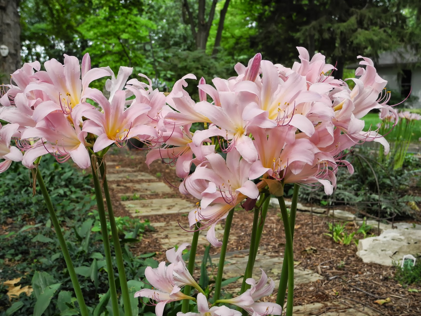 naked ladies bulbs buy jpg 422x640
