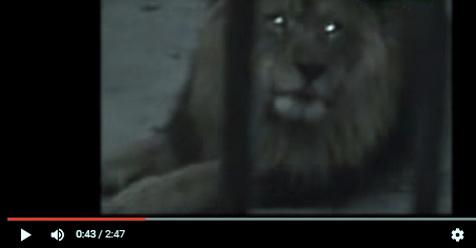 Subhanallah, Singa Jantan Ini Tiba-tiba Berdzikir 'Allah.. Allah. Allah..' (Video)