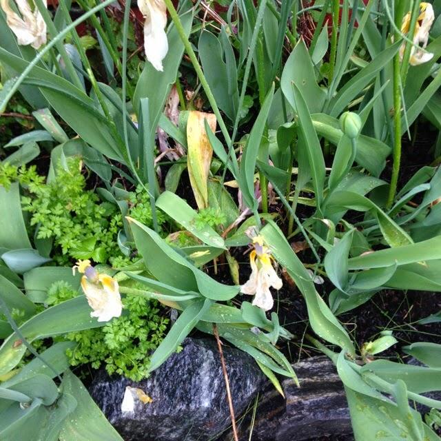 vannplanter som overvintrer