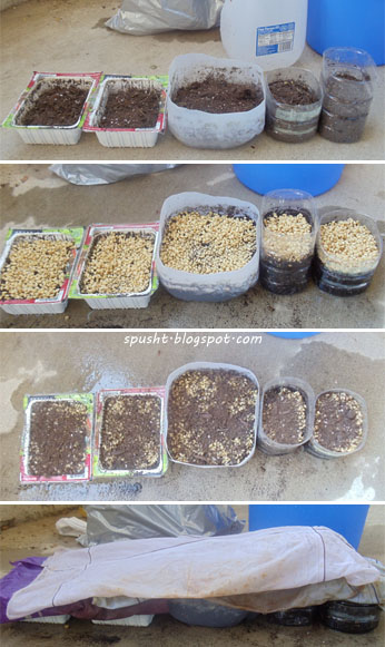 how to sow wheat in soil for wheatgrass