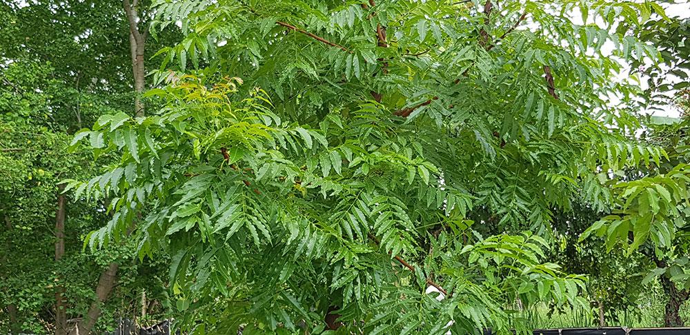 ใบของต้นสะเดา
