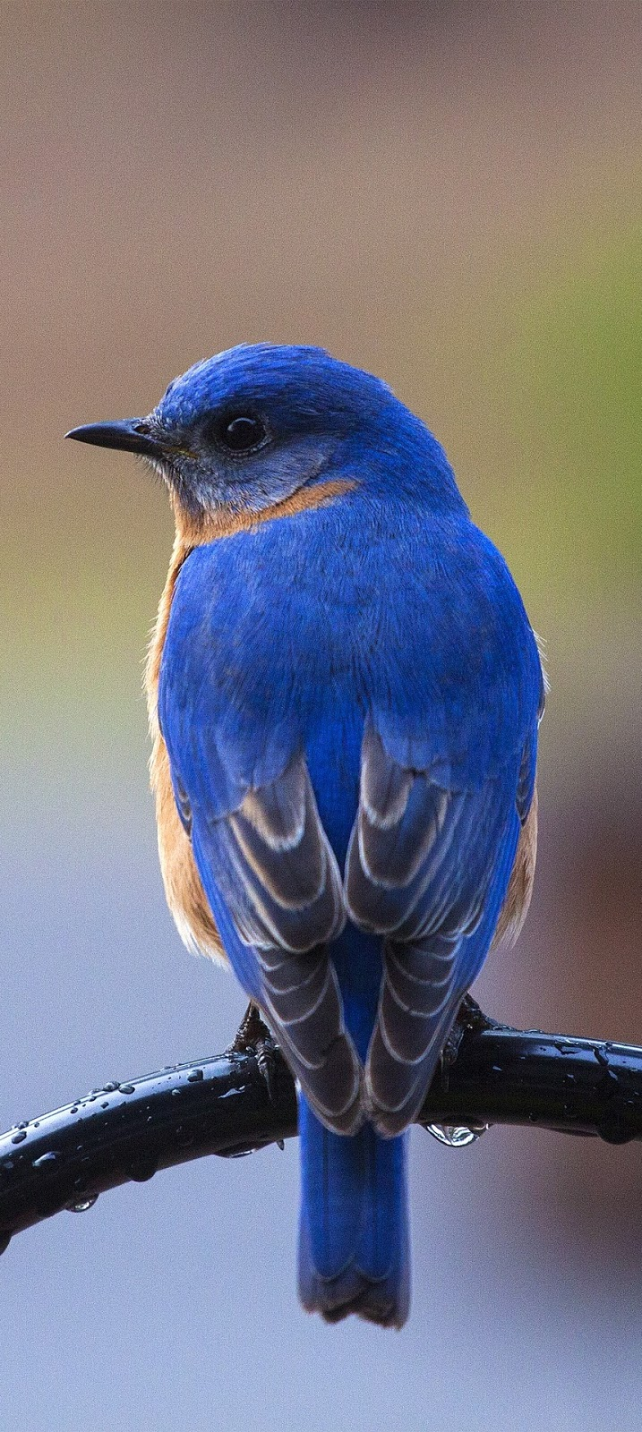 Picture of a beautiful bluebird.