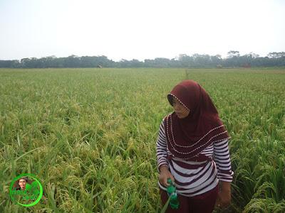 Kami mengelilingi hamparan padi yang sebentar lagi siap untuk di panen. Foto jepretan 24/04/2016