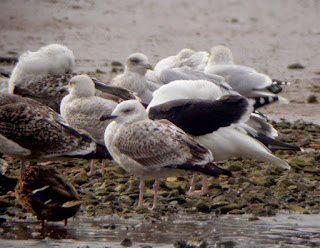 http://stevesbirdingblog.blogspot.co.uk/2014/10/caspian-gull.html