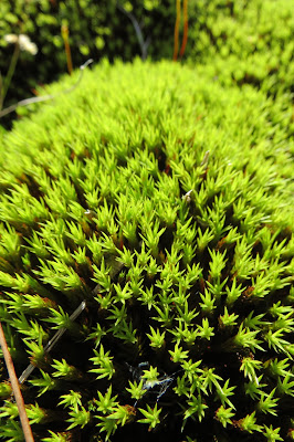 A close up of bright green moorland moss.