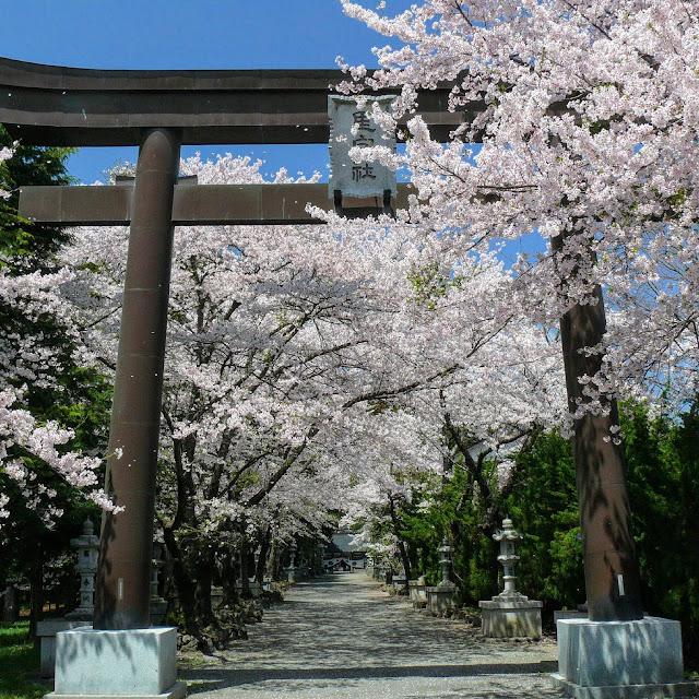 河口湖 冨士御室浅間神社 桜