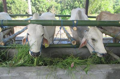 Manfaat Daun Kelapa Untuk Pakan ternak