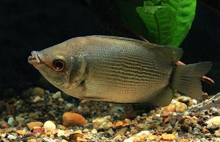 gambar ikan tambakan