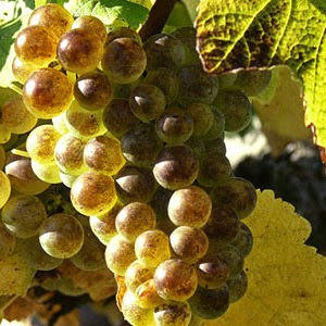Mauzac grapes