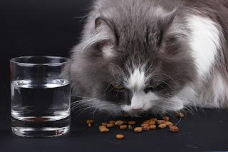 Cara Memberi Makan Kucing Ras Anggora dan Persia