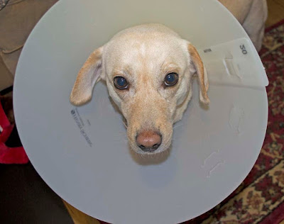 Layla (yellow Lab) in Cone of Shame