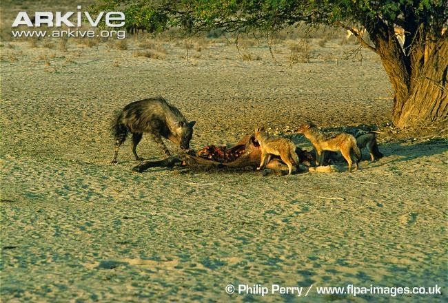 Brown hyaena and Jackals