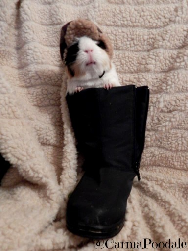 cookie  the guinea pig in a snow boot wearing a hat