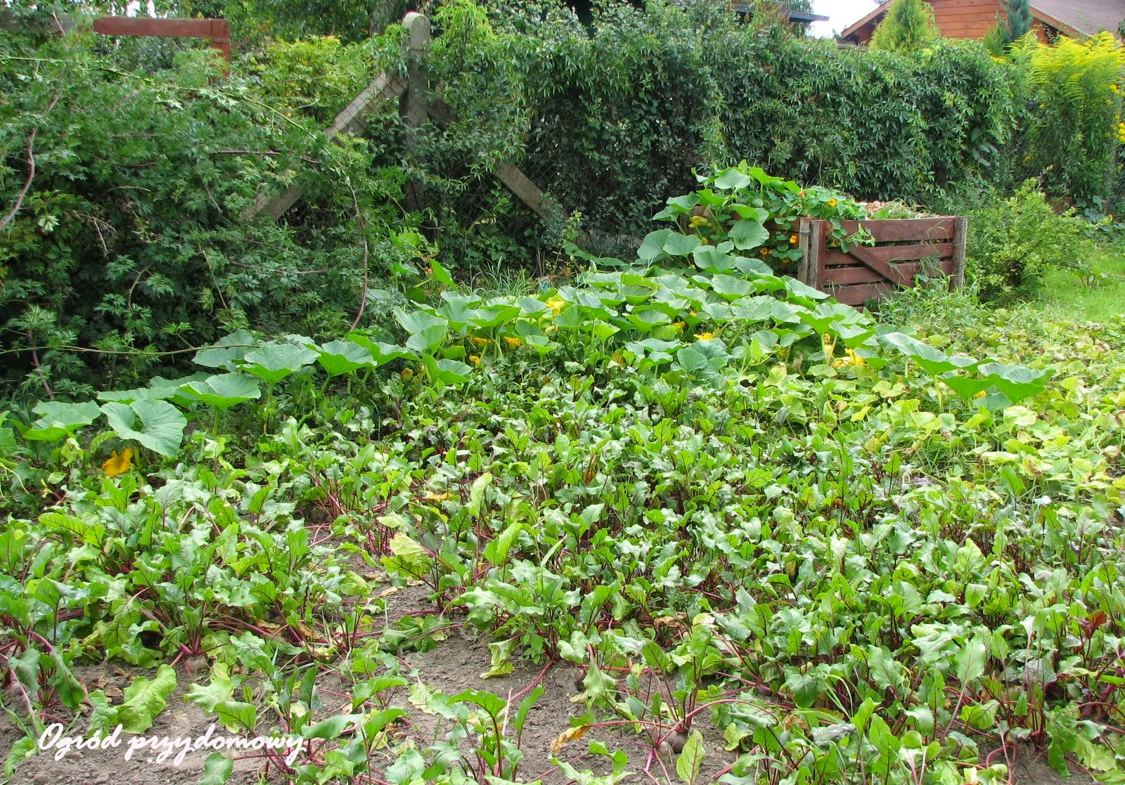 pędy dyni, owoce arbuza, ogród przydomowy