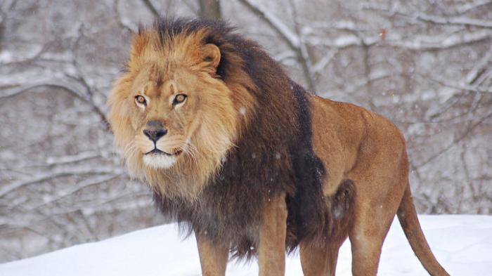 Arti Mimpi Dikejar Singa