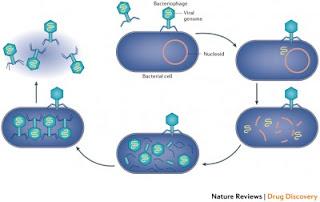 Siklus Hidup Bakteriofag (Litik dan Lisogenik)