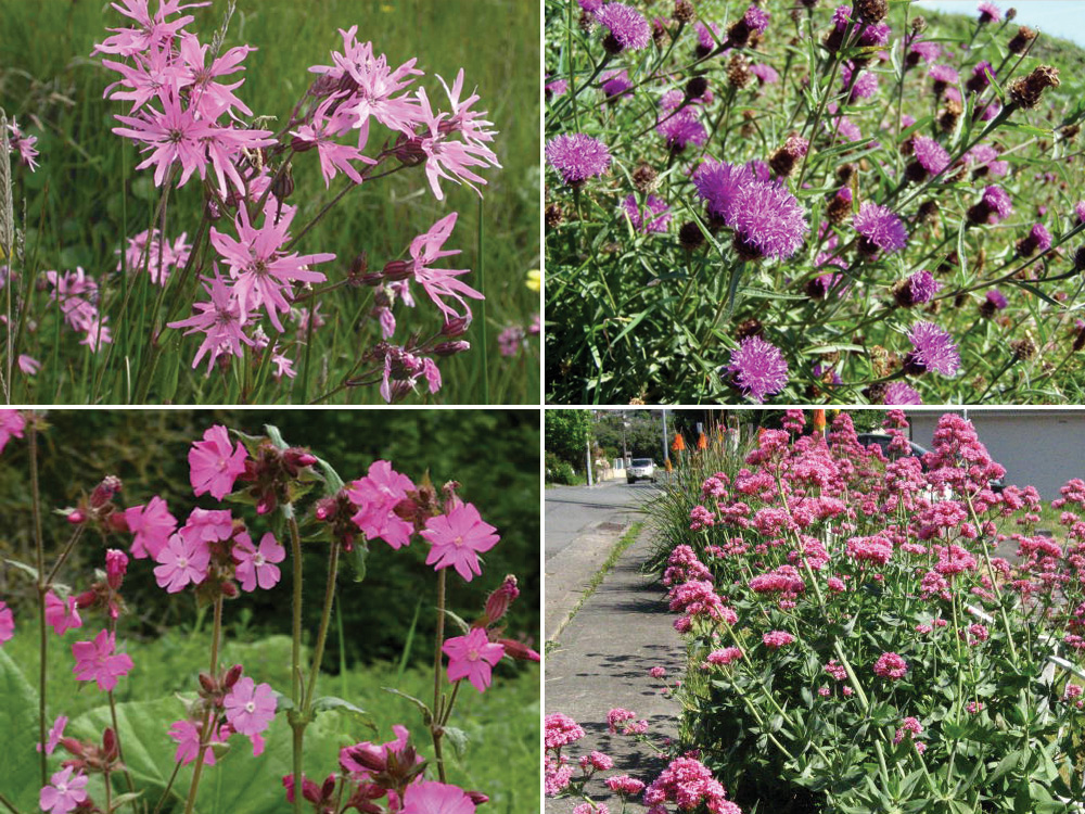 Manx wildflowers lovely greens clockwise from top left ragged robin knapweed red valerian and campion mightylinksfo
