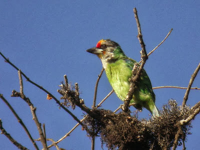 Golden throated Barbet