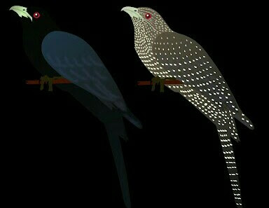 This is an image of Cuckoo