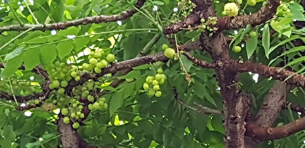 ผลของต้นมะยม