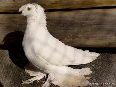white tumbler pigeons - uzbek