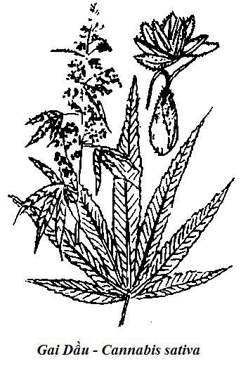 Hình vẽ Gai Dầu - Cannabis sativa - Nguyên liệu làm thuốc Có Chất Độc