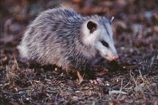 Viginia opossum