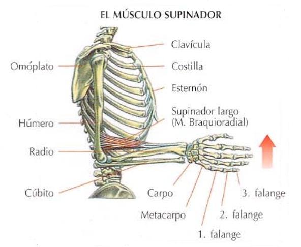 Anatomía del supinador largo | Rane Forti