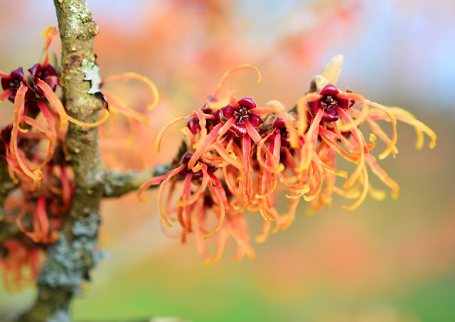 Orange Witch Hazel first flowering shrubs of Spring