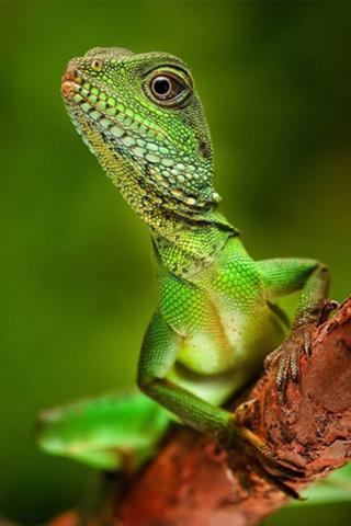 iPhoneZone: Poisonous Lizard iPhone Wallpapers