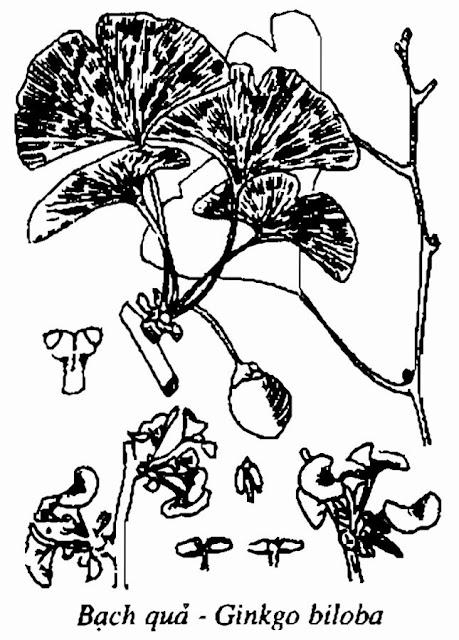 Hình vẽ BẠCH QUẢ - Ginkgo biloba - Nguyên liệu làm thuốc Chữa Ho Hen