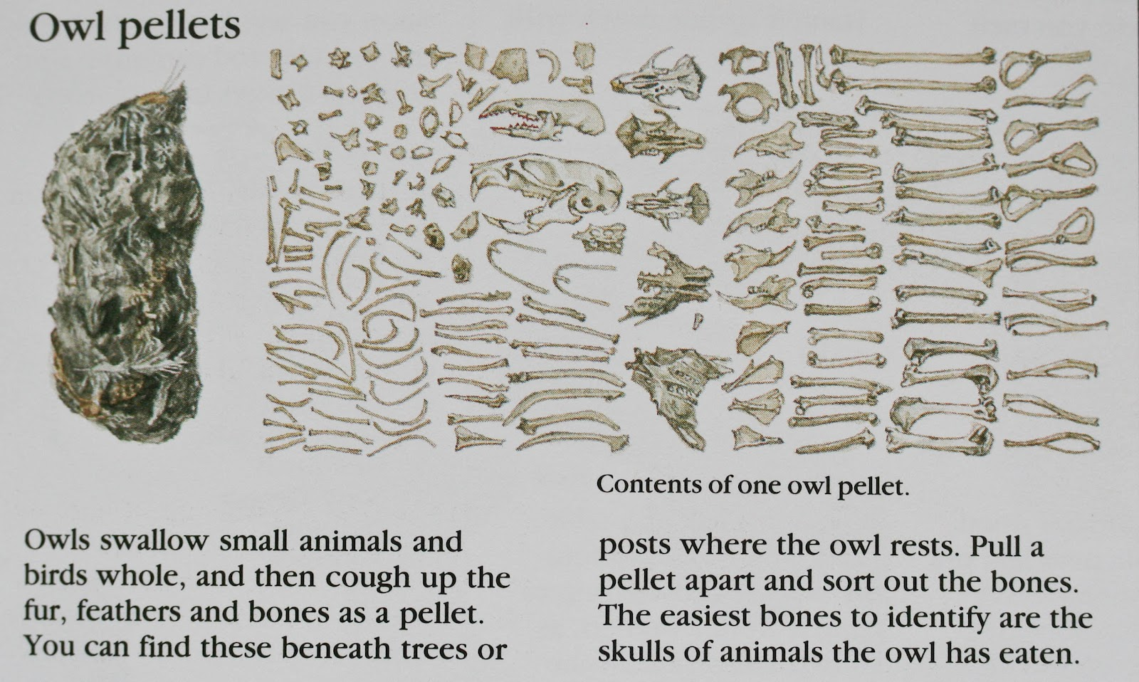 Images About Owl Pellet Bone Charts Amp Other Nature